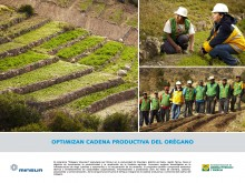 Optimizan cadena productiva del orégano